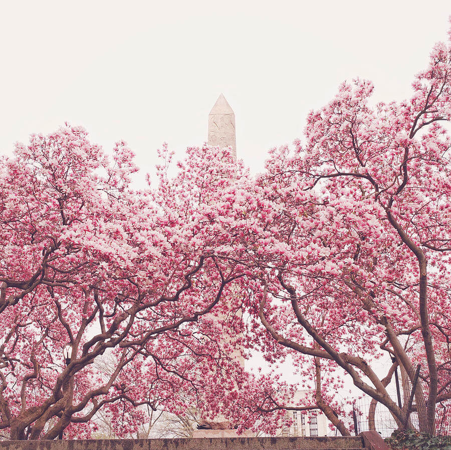 Cherry Blossom Festival Things to do in NYC