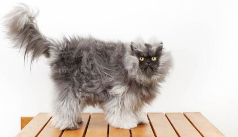 COLONEL MEOW ($50,000 USD) | World's Richest Animals And Pets Ever