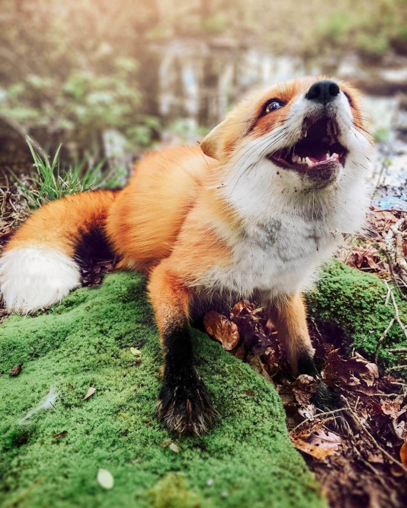 JUNIPER THE FOX ($180,000 USD) | World's Richest Animals And Pets Ever