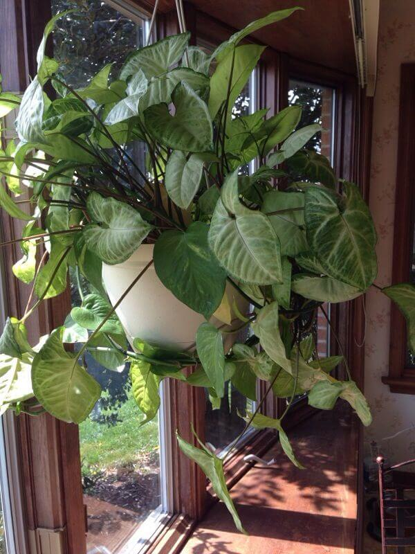 Arrowhead Plant Hanging Plants