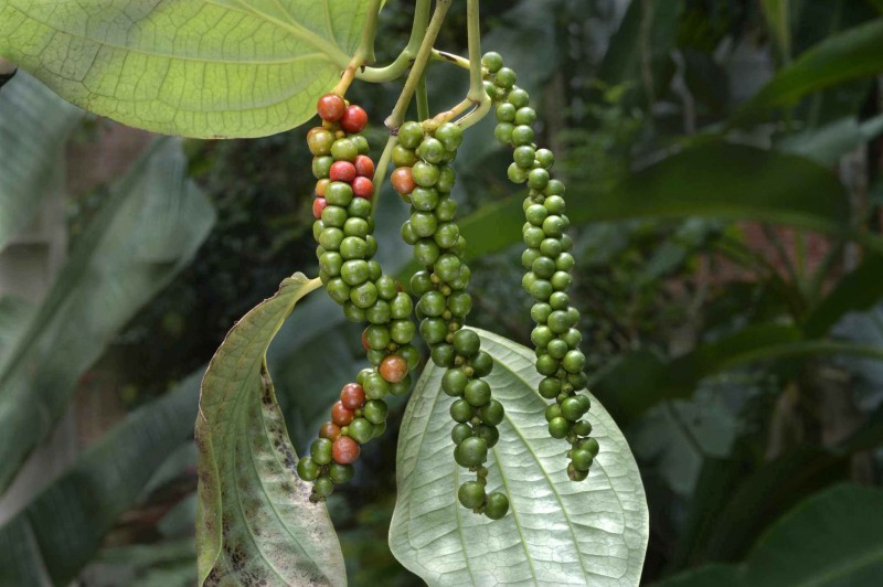 Black Pepper Vine Hanging Plants