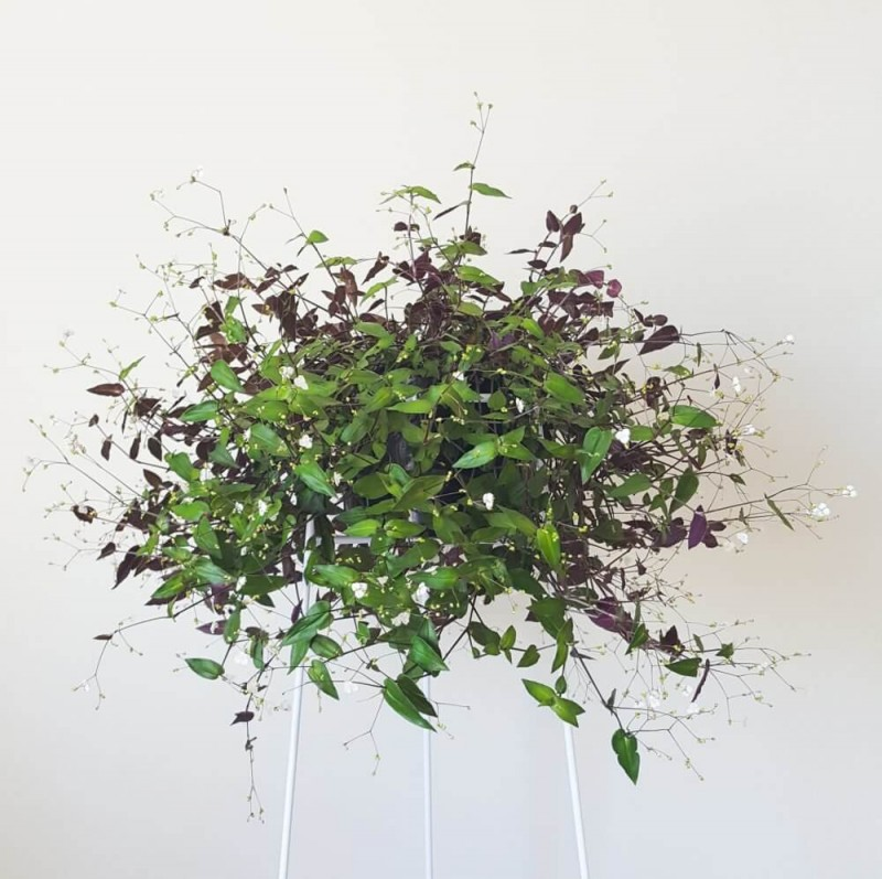 Bridal Veil Plant Hanging Plants