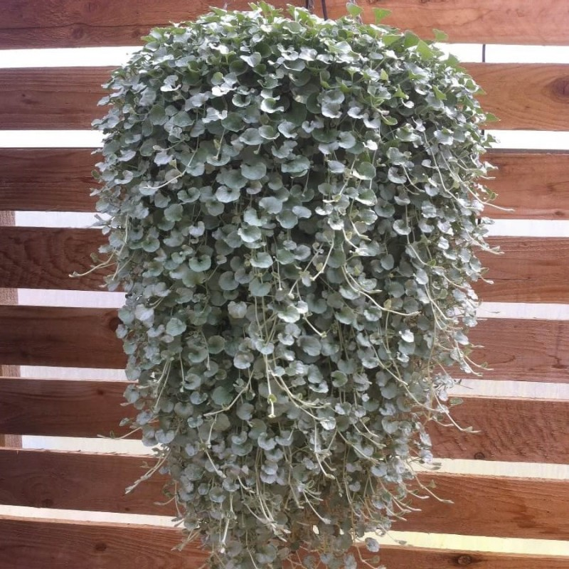 Dichondra silver Hanging Plants
