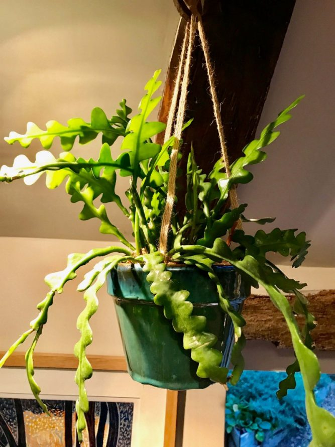 Fishbone cactus Hanging Plants