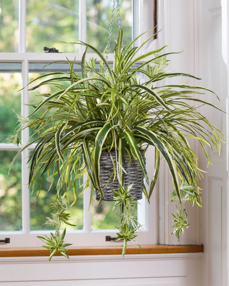 Spider Plant Hanging Plants
