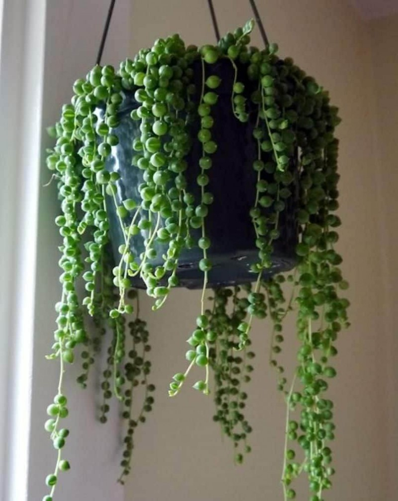 String of pearls Hanging Plants